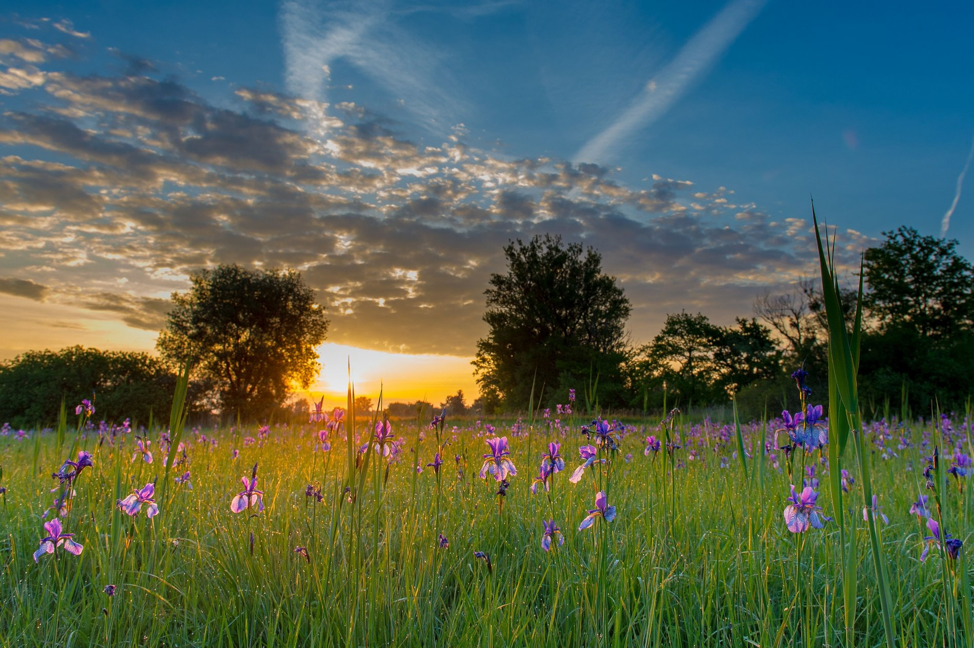 Iriswiese im Sonnenuntergang