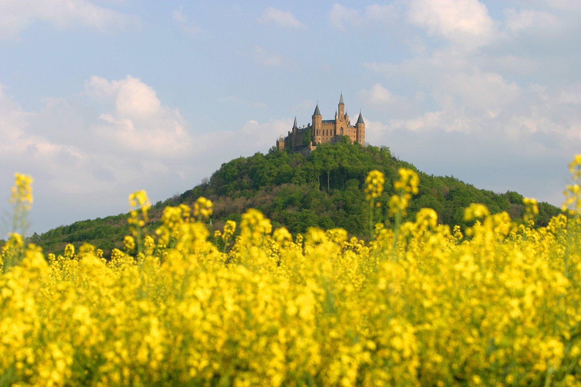 Blühendes Rapsfeld mit der Burg Hohenzollern im Hintergrund