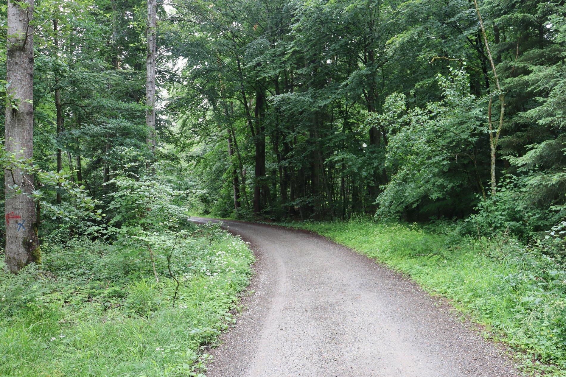 Waldweg mit hohen Bäumen