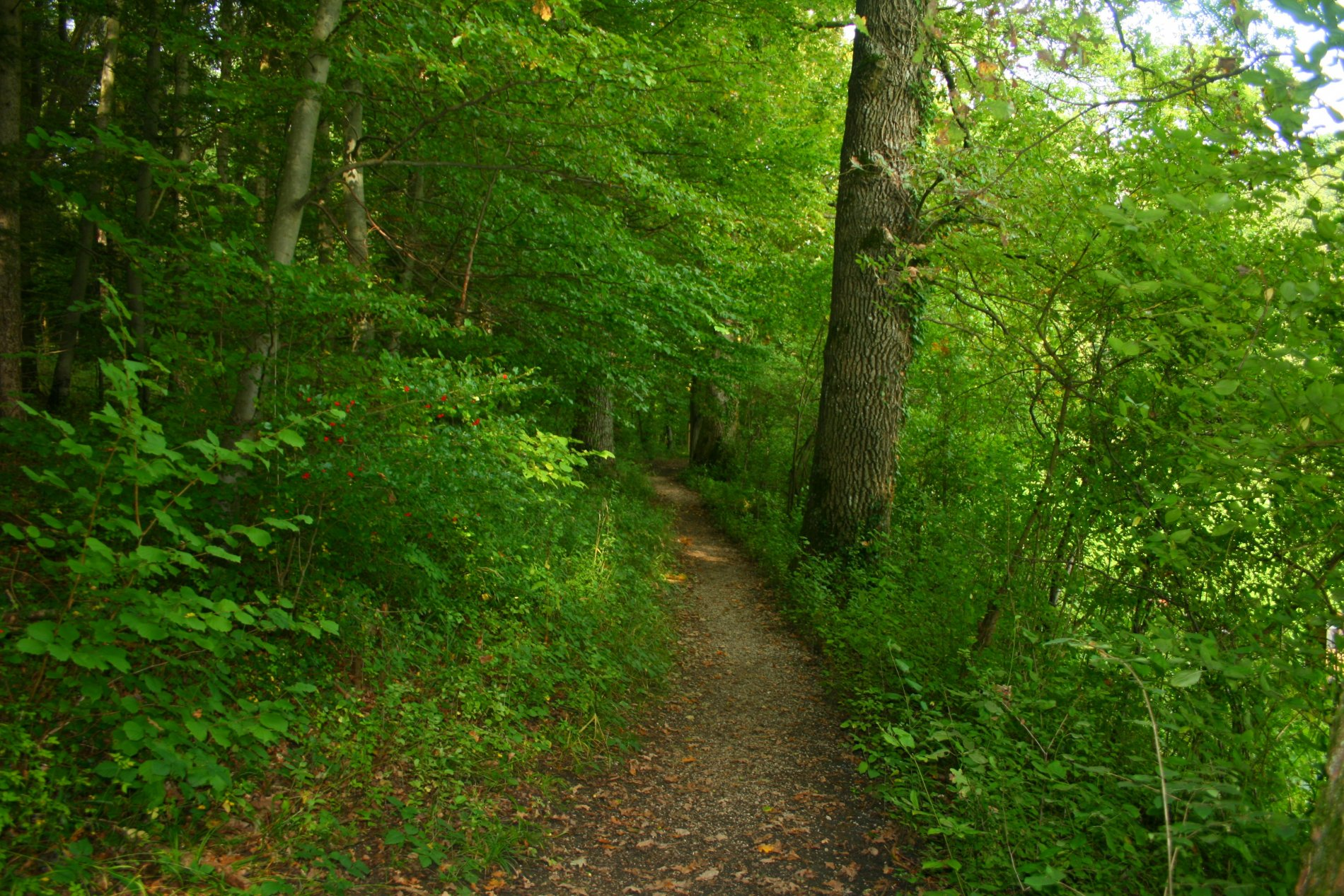 Pfad im dichten Wald