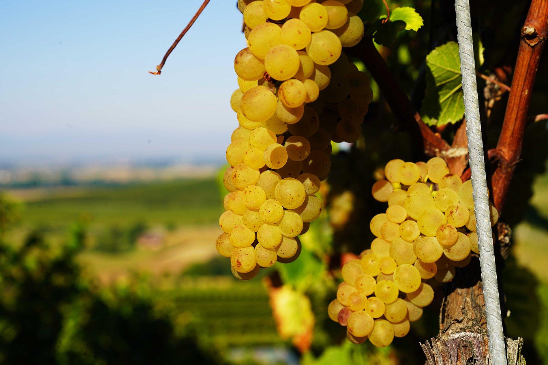 Reben in bester Lage beim Weingut Scherer & Zimmer