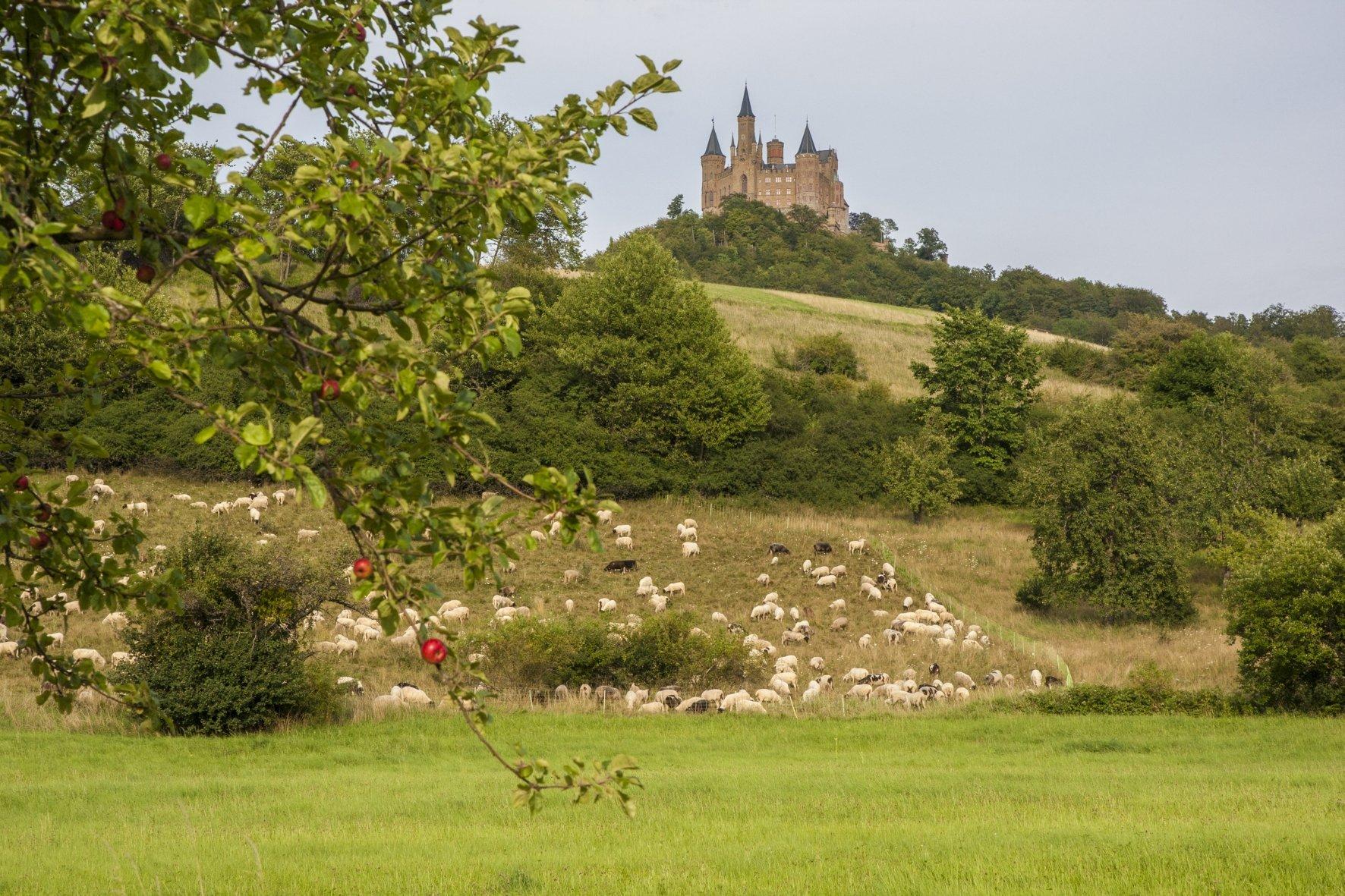 Schafherde am Fuße der Burg Hohenzollern