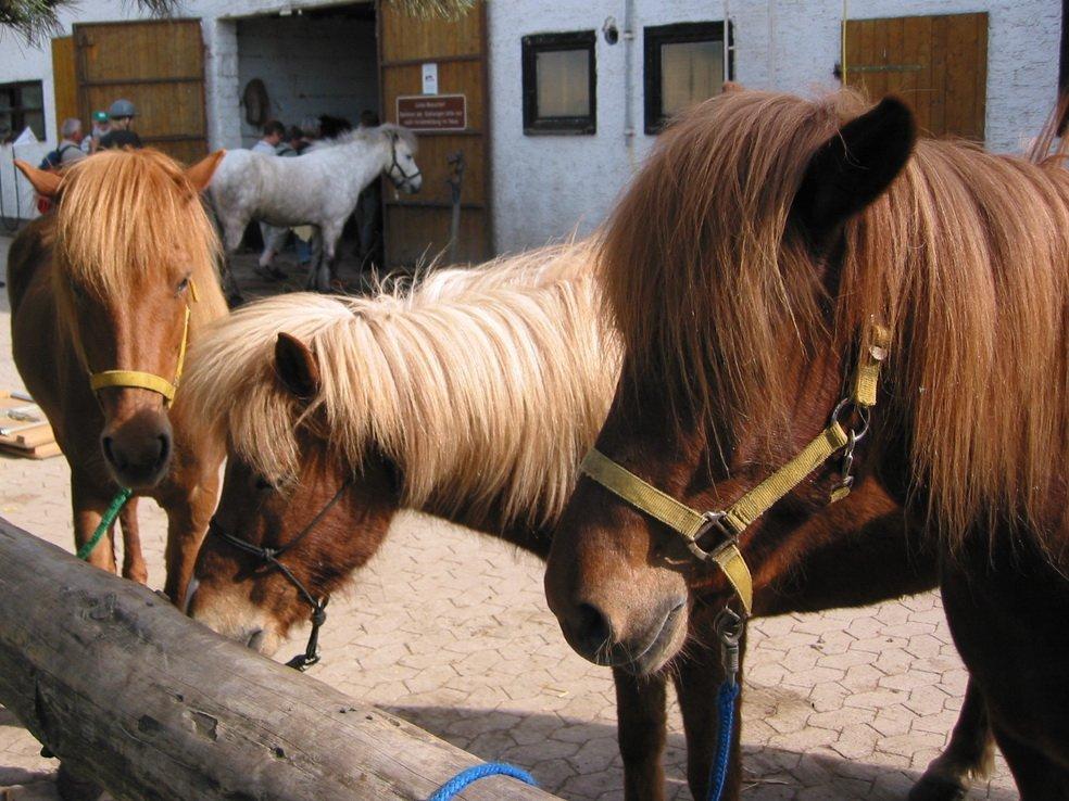 Drei Pferde mit Halfter in Gehege