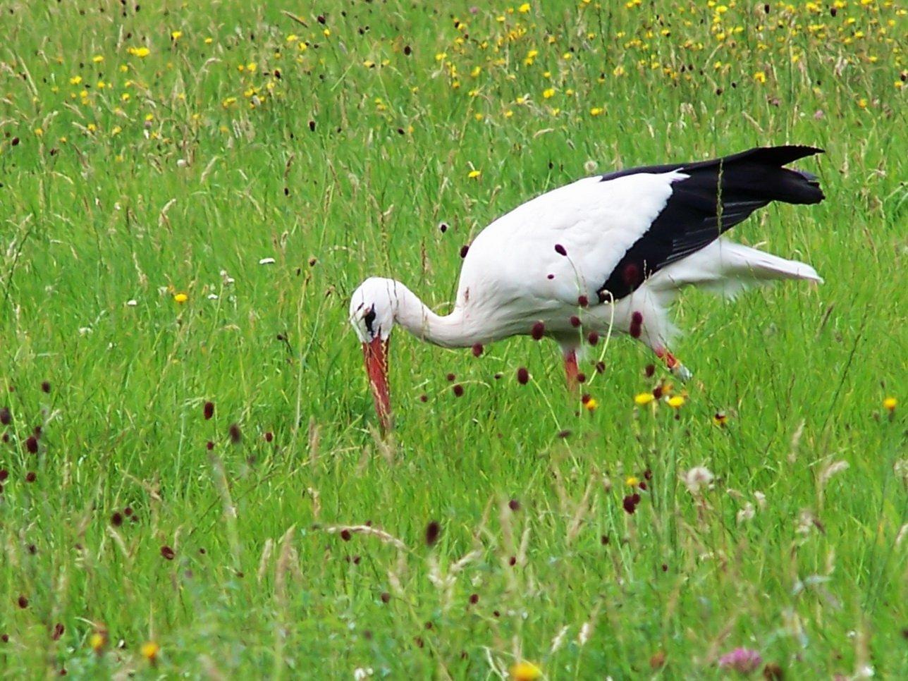 Storch in der Bliesaue in Homburg-Beeden