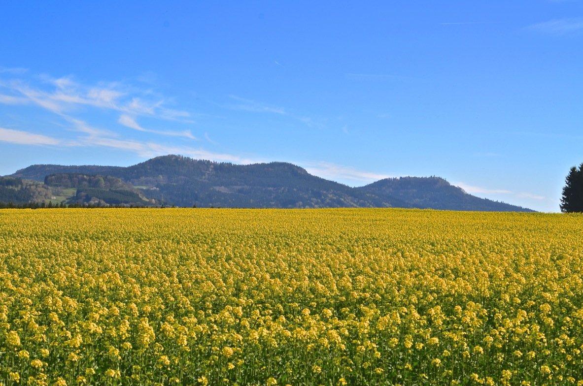 Blühendes Rapsfeld mit den Bergen der Zollernalb im Hintergrund