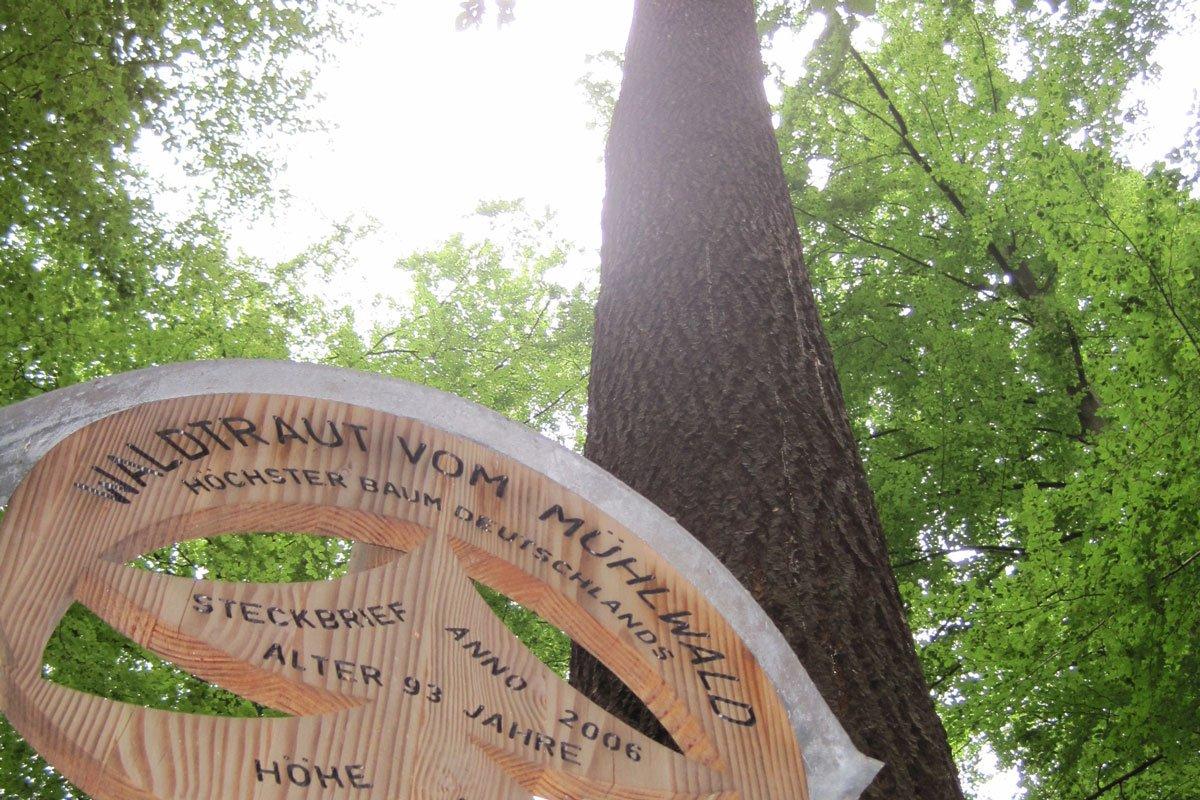 Deutschlands höchster Baum - Waldtraut vom Mühlwald in Freiburg