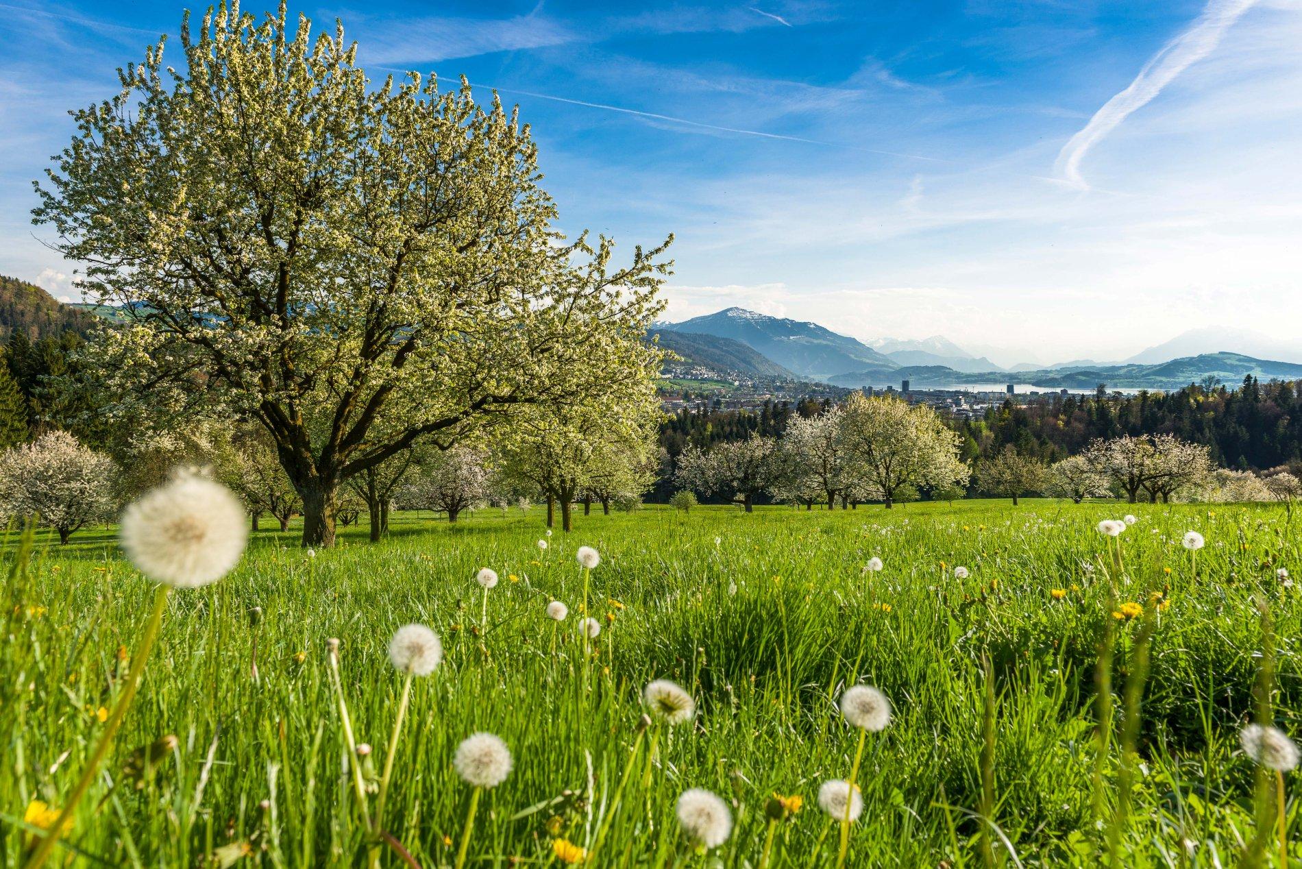 blühende Kirschbäume am Zugersee