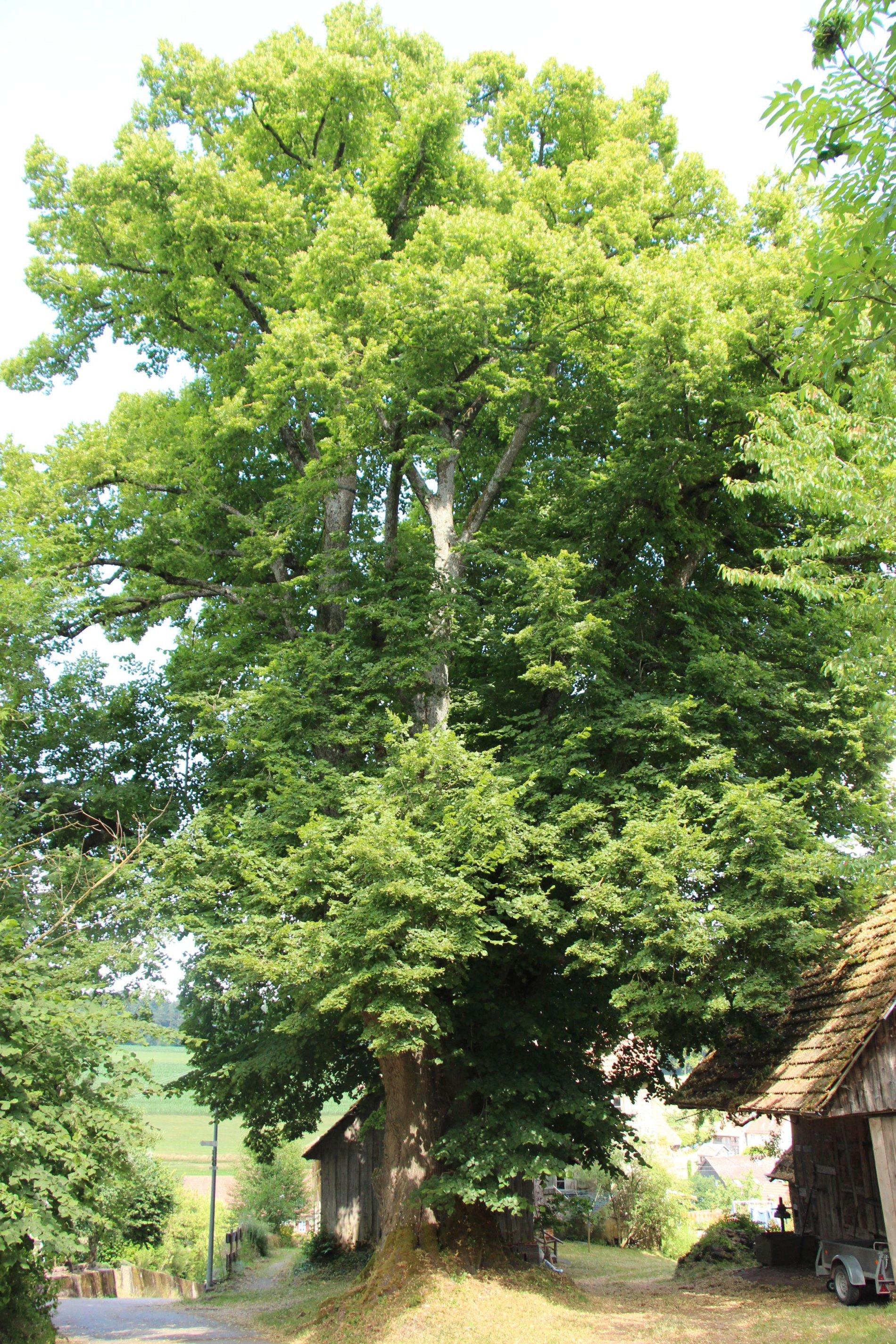 Mächtige 300 Jahre alte Linde in Rötenbach