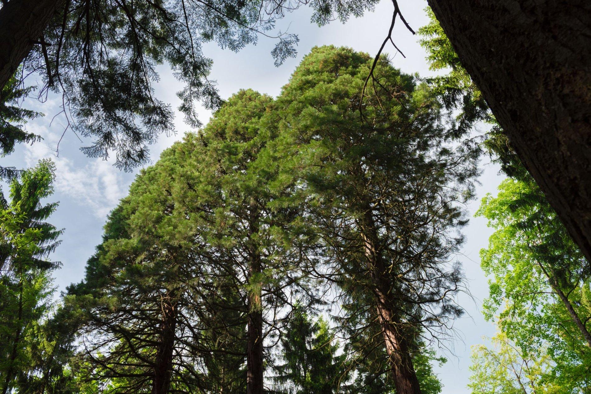 Mammutbäume - die Riesen der Urzeit
