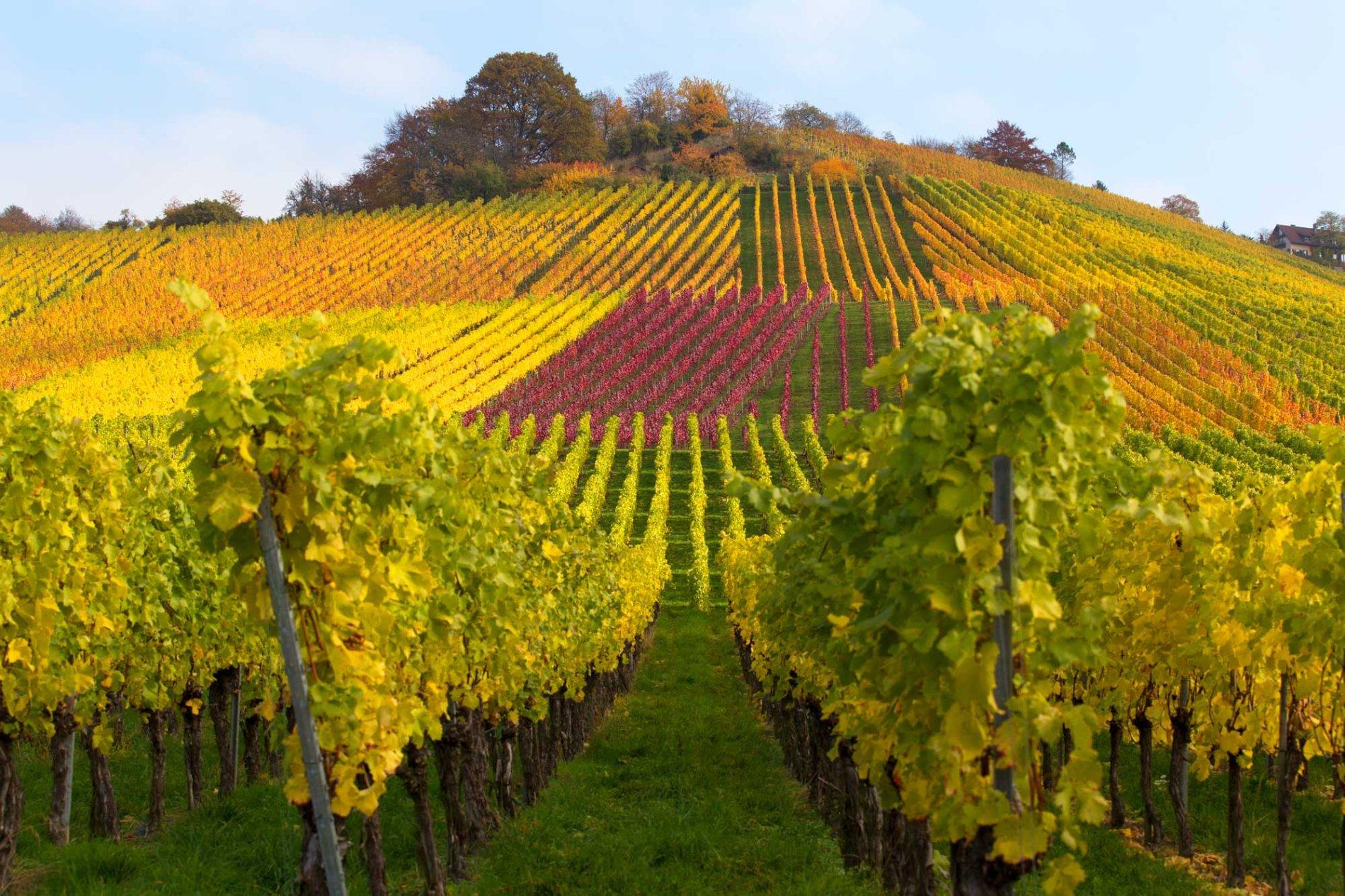 Bunte Herbstweinberge bei Stuttgart