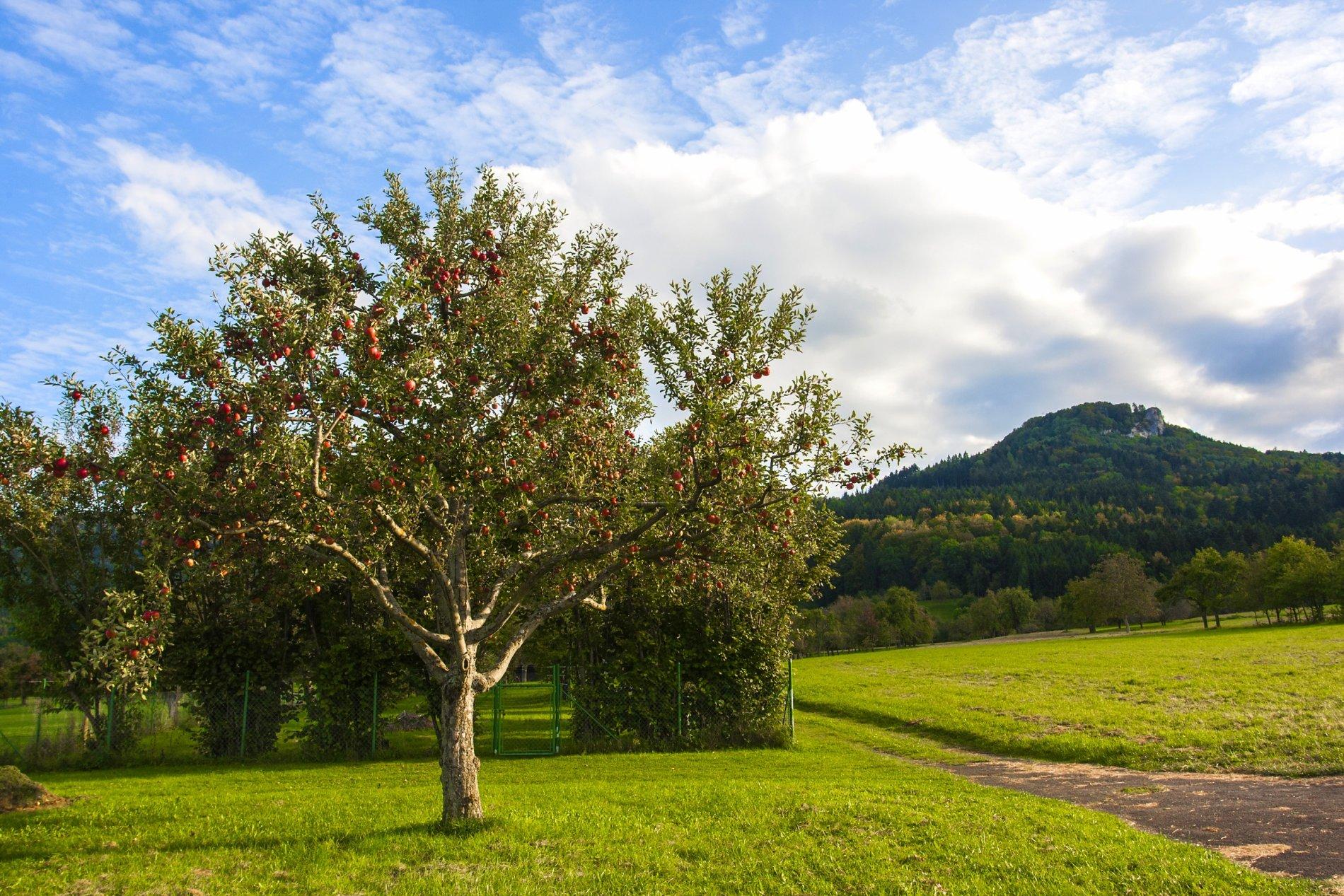 Apfelbaum und Wiesen mit Lochenstein im Hintergrund