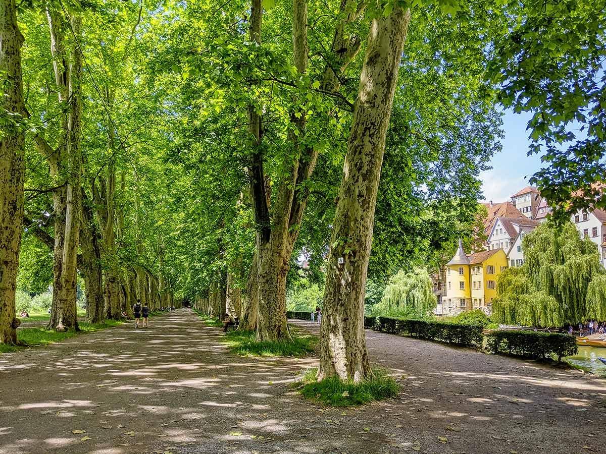 Platanenallee auf der Neckarinsel Tübingen im Sommer mit sattgrünen Bäumen