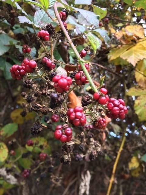 Wilde Beeren und Früchte der Natur