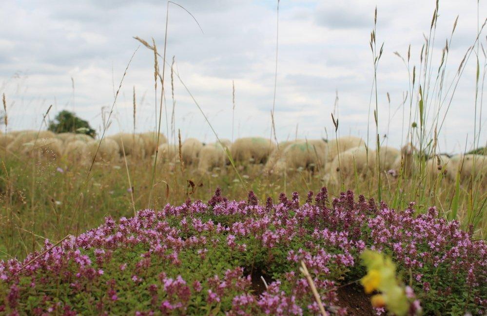 Im Vordergrund eine Kräuterhecke dahinter eine Schafherde im grünen Gras