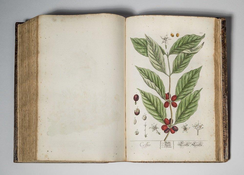 Zeichnung einer Kaffeepflanze