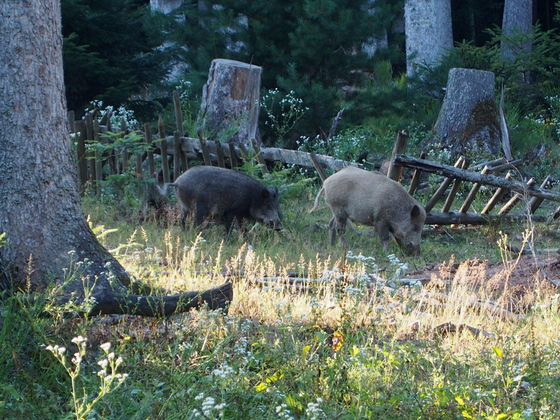 Wildschweine im Wildgehege Calw