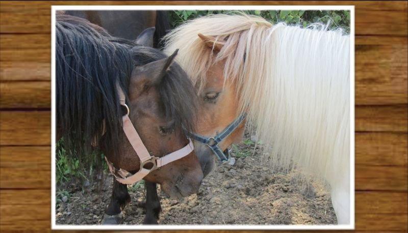 Zwei schmusende Ponys