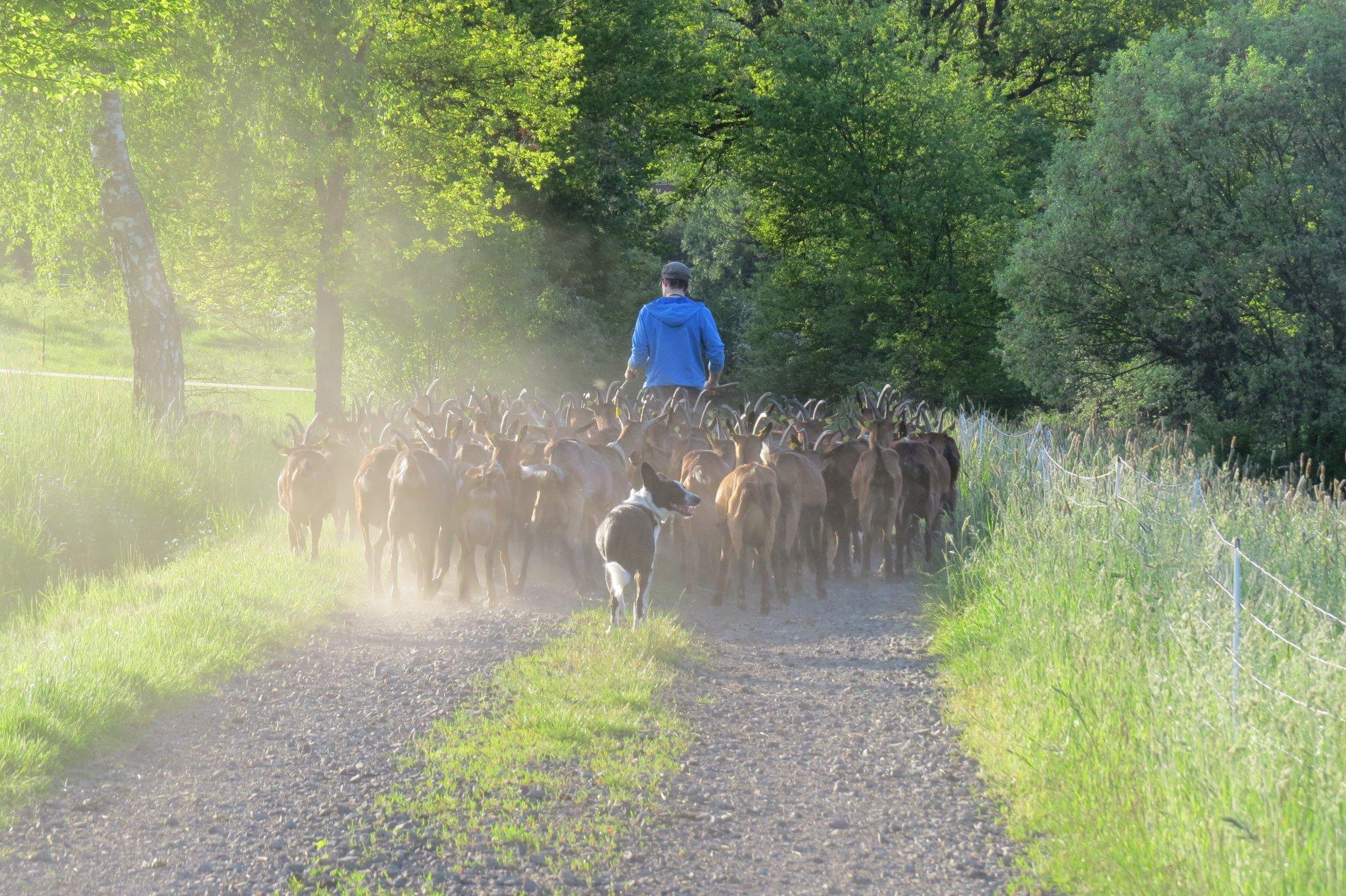 Goats monastery farms