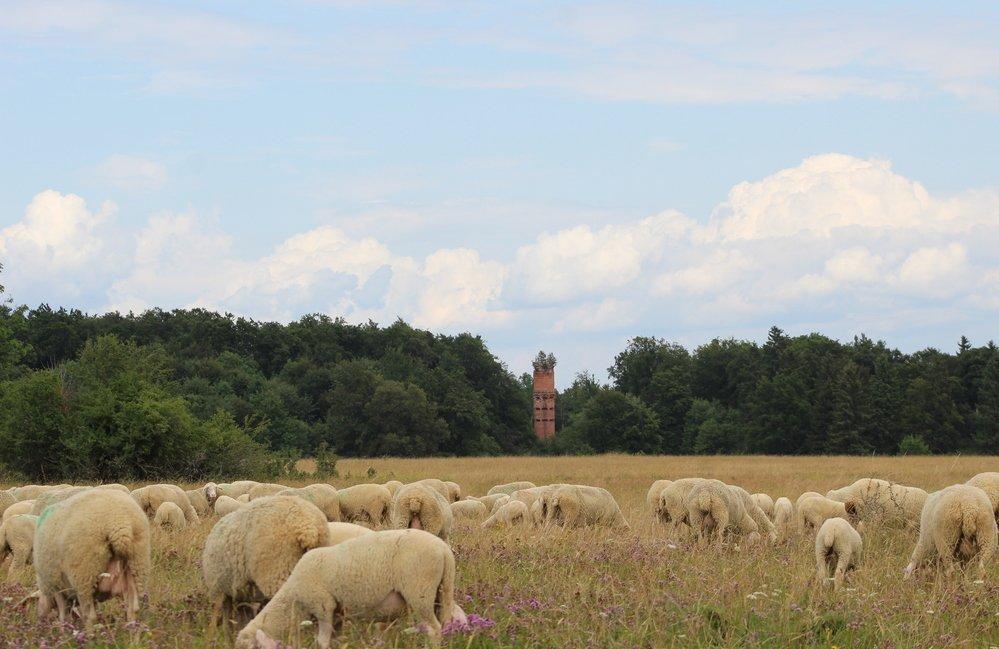 Eine Schafherde beim grasen, im Hindergrund ein gemauerter Turm im Wald