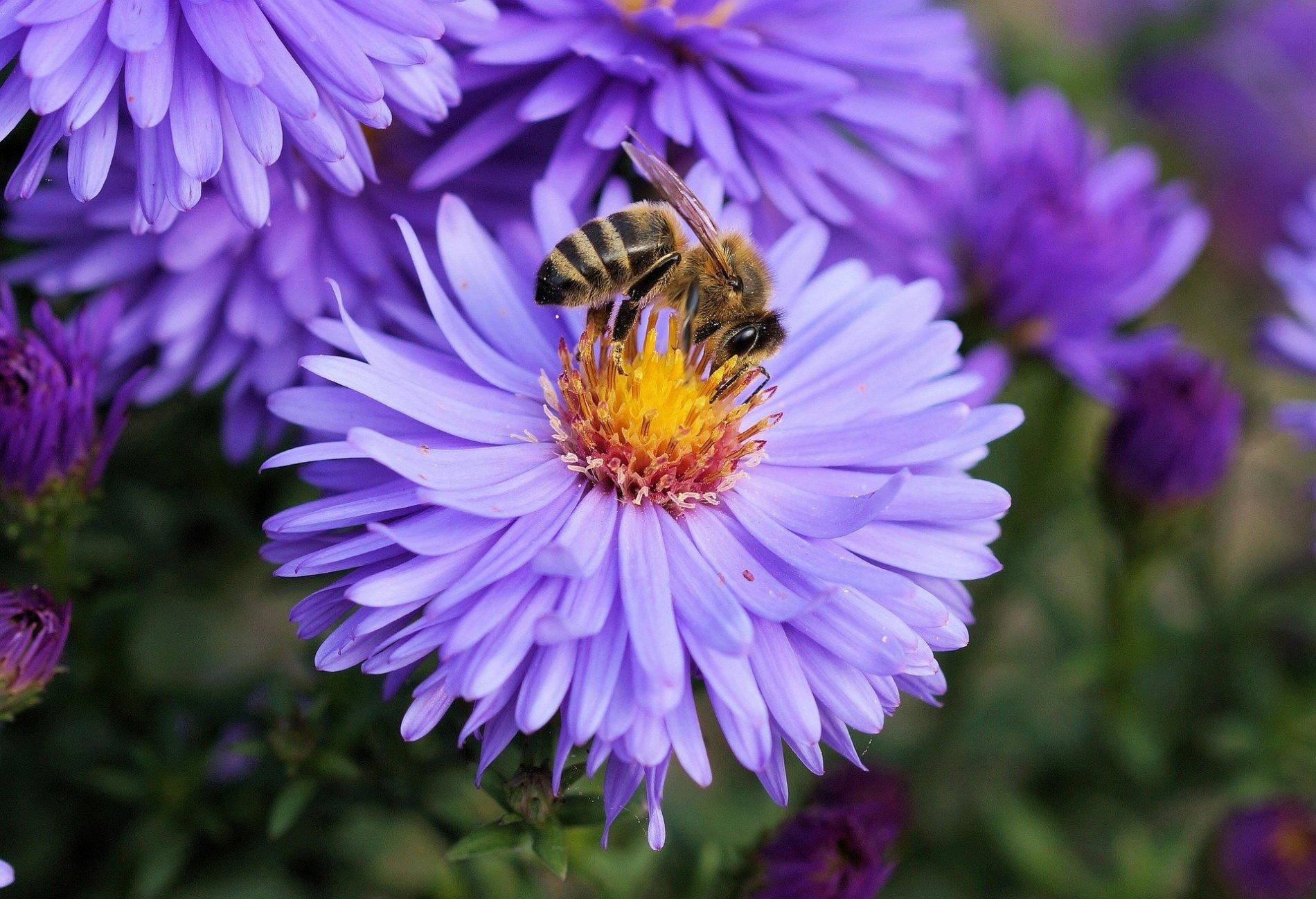 Honigbiene auf Herbstaster