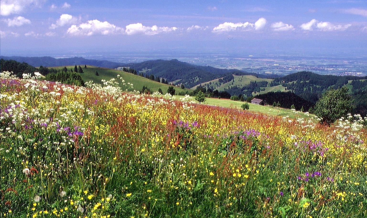 Blumen-Kräuterwiese
