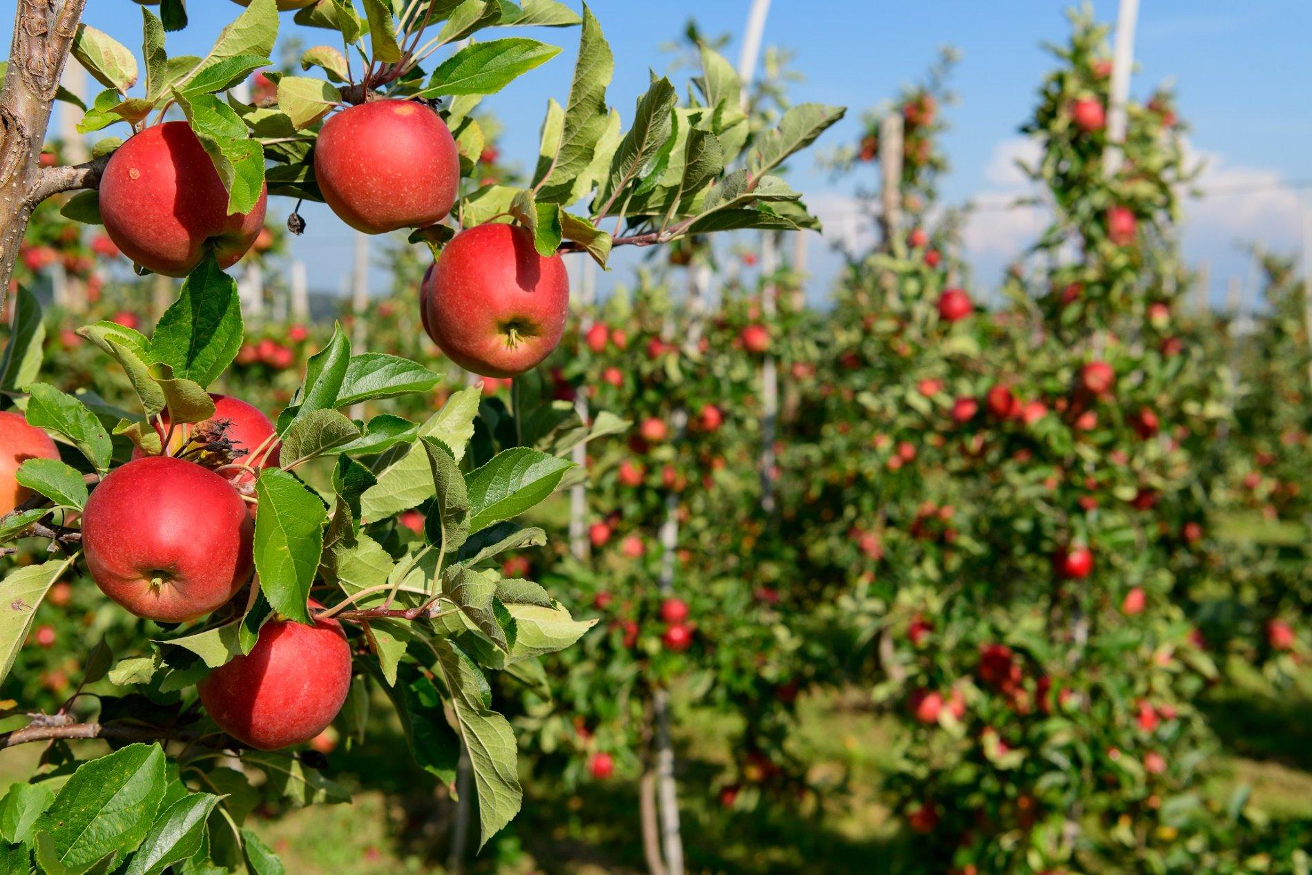 Apfelplantage mit roten Äpfeln