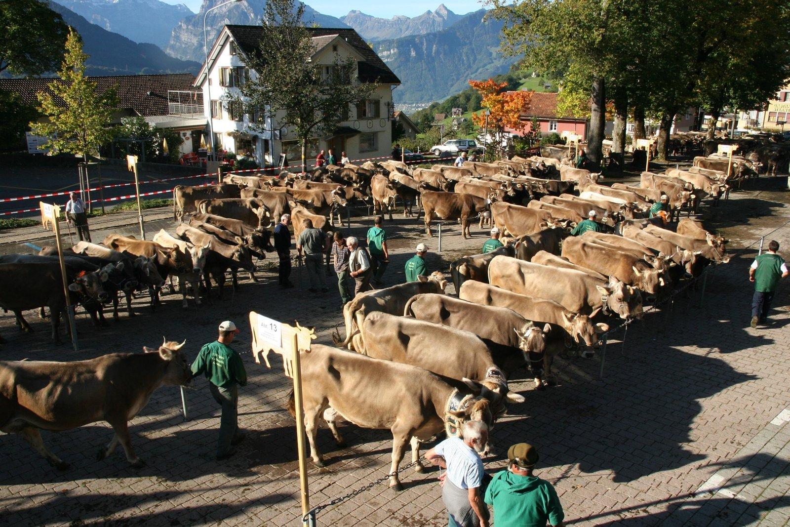 Übersicht Ammler Viehschau