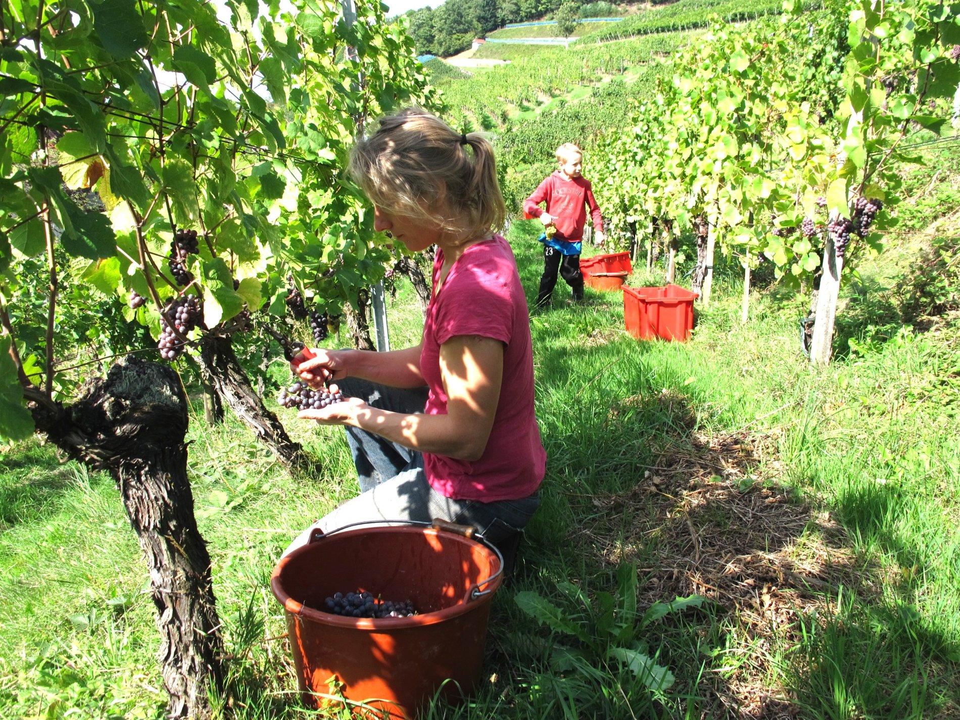 Die Weinlese in den steilen Glottertäler Weinbergen ist sehr arbeitsintensiv und benötigt viele fleissige Hände
