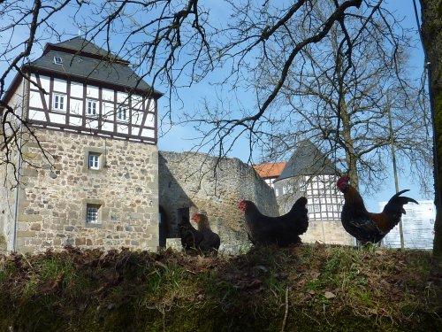 Hühner auf der Burg Herzberg