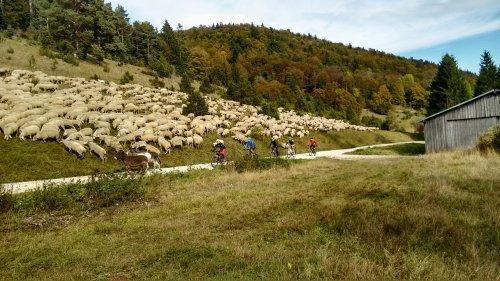 Schafherde auf der Hochalb