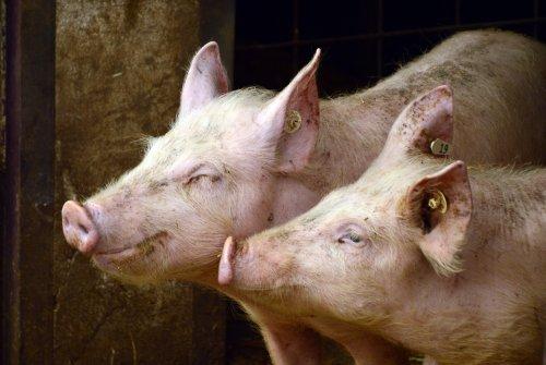 wohlige Schweine