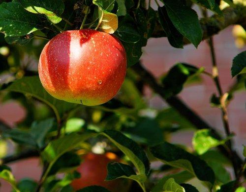 Roter Apfel am Baum