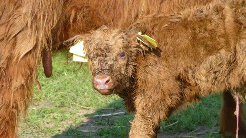 Highland-Kalb bei Mutterkuh