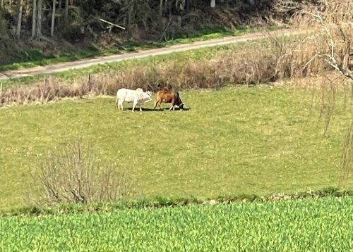 Terrainkurwege - besondere Rinder