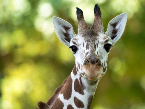Zoo Frankfurt - Giraffe