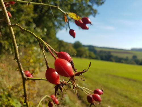Hagebutten bei der Herbstwanderung