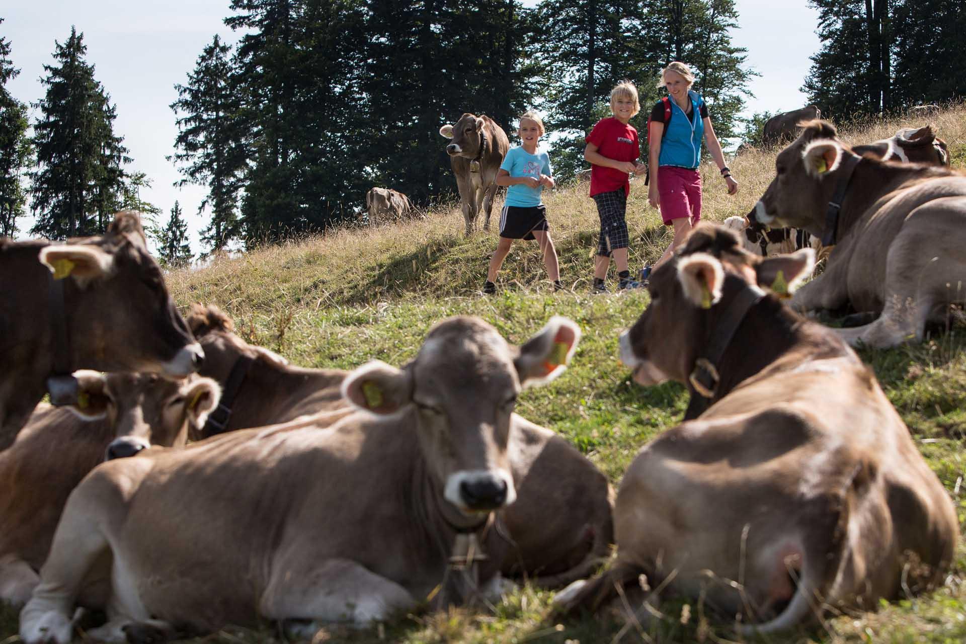 Familienwanderung in Isny, Kühe am Adelegg